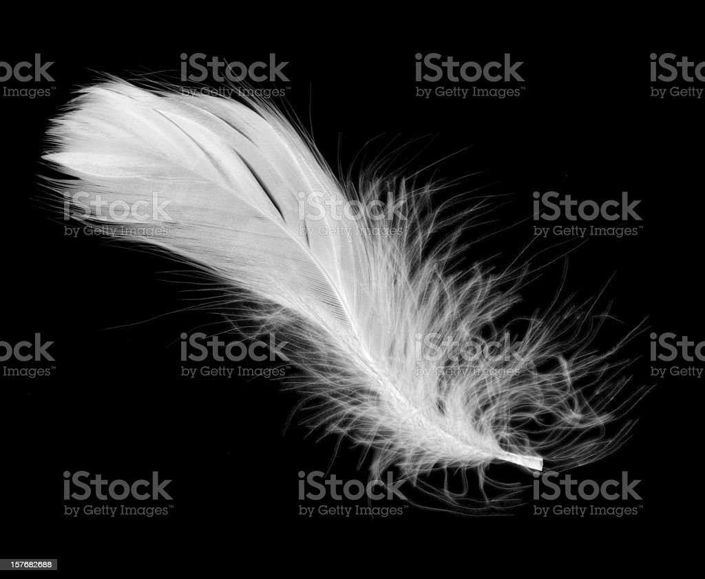 White feather isolated on a black background stock photo