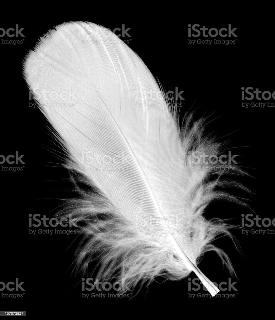 White feather isolated on black background stock photo