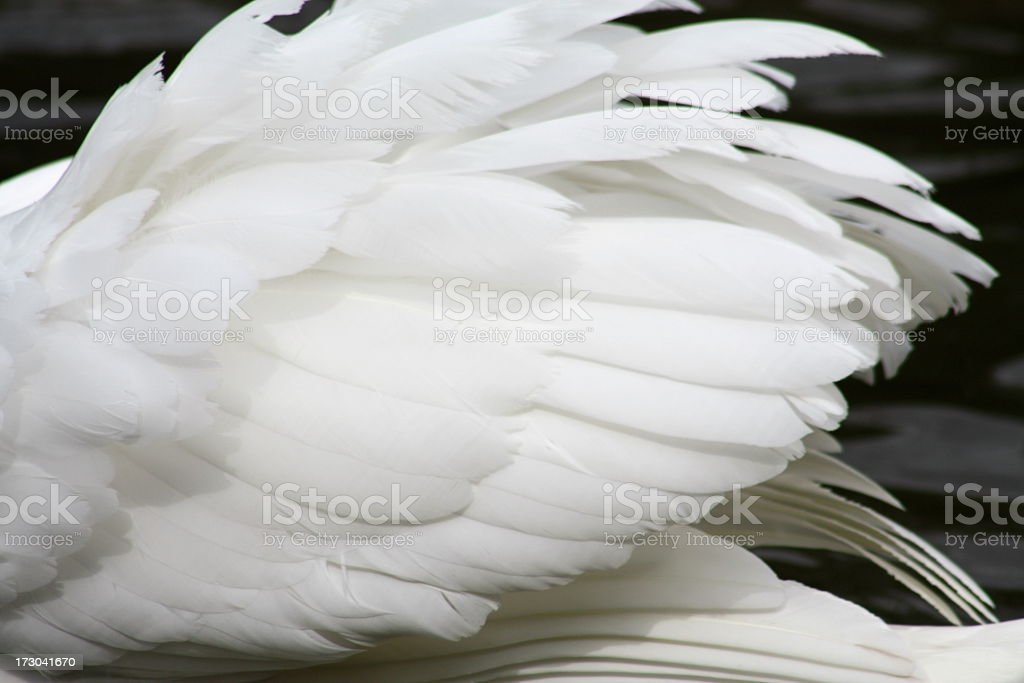 White feathers on a swan or other large bird  stock photo
