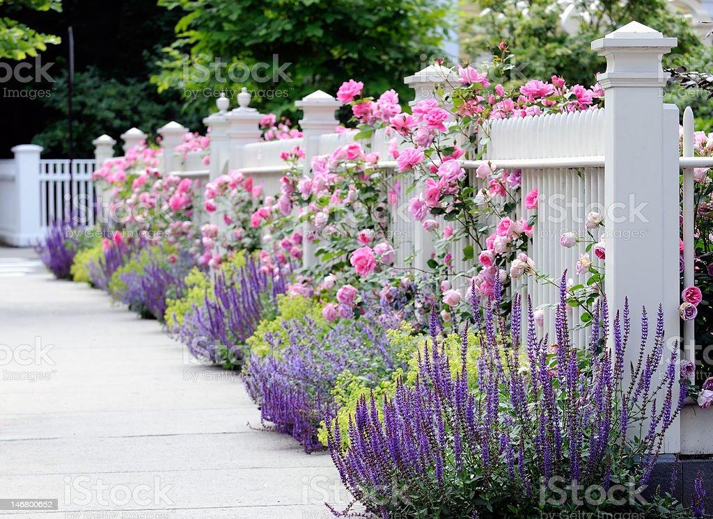 White Fence, Pink Roses, Salvia stock photo