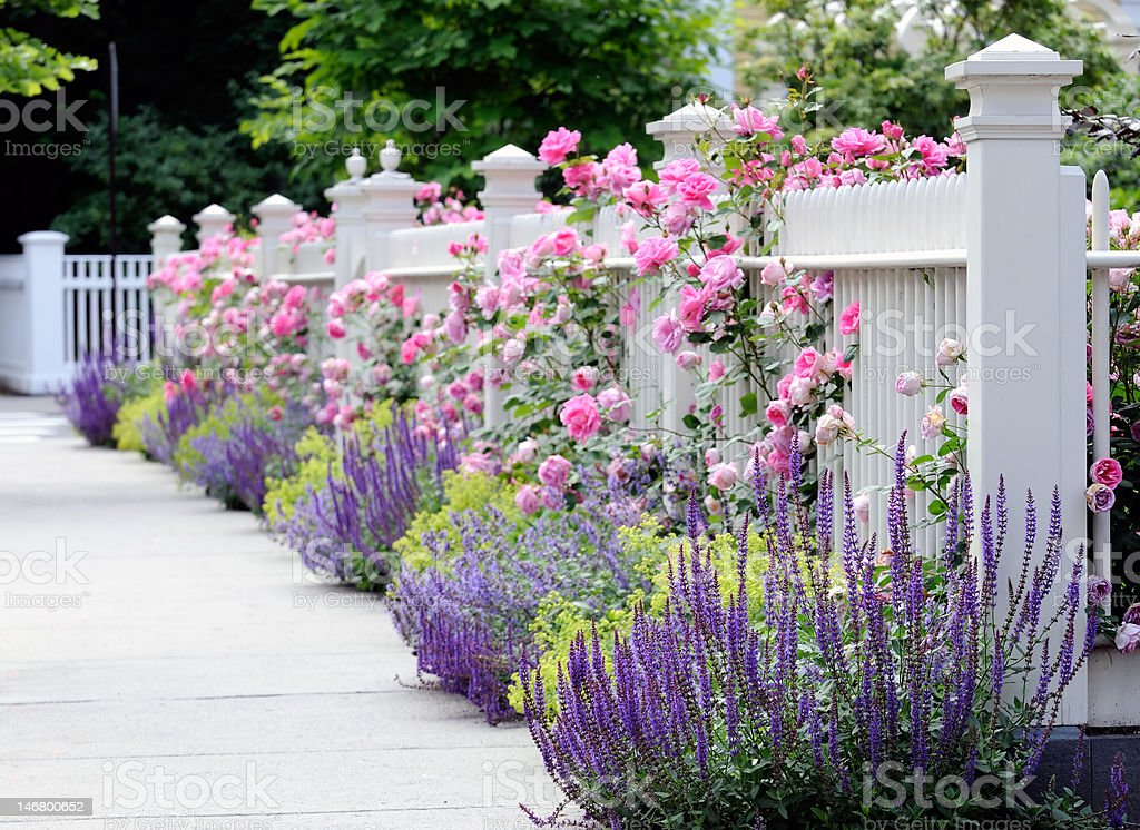White Fence, Pink Roses, Salvia stock photo