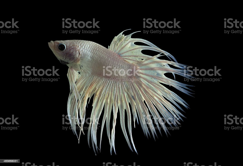 white fighting fish royalty-free stock photo