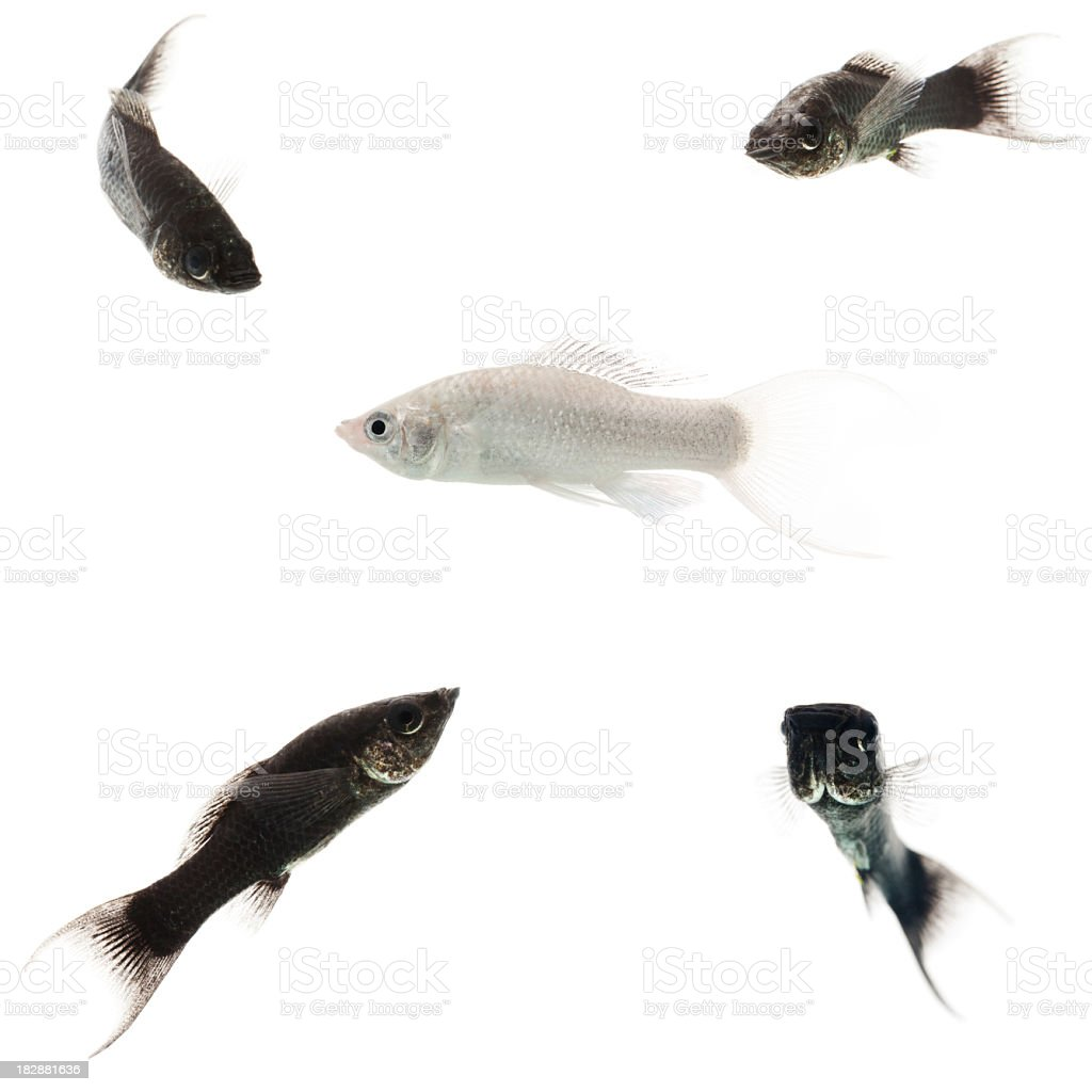 white fish surrounded by black ones royalty-free stock photo