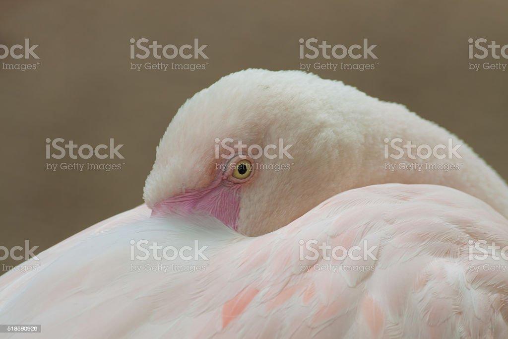 White flamingo royalty-free stock photo