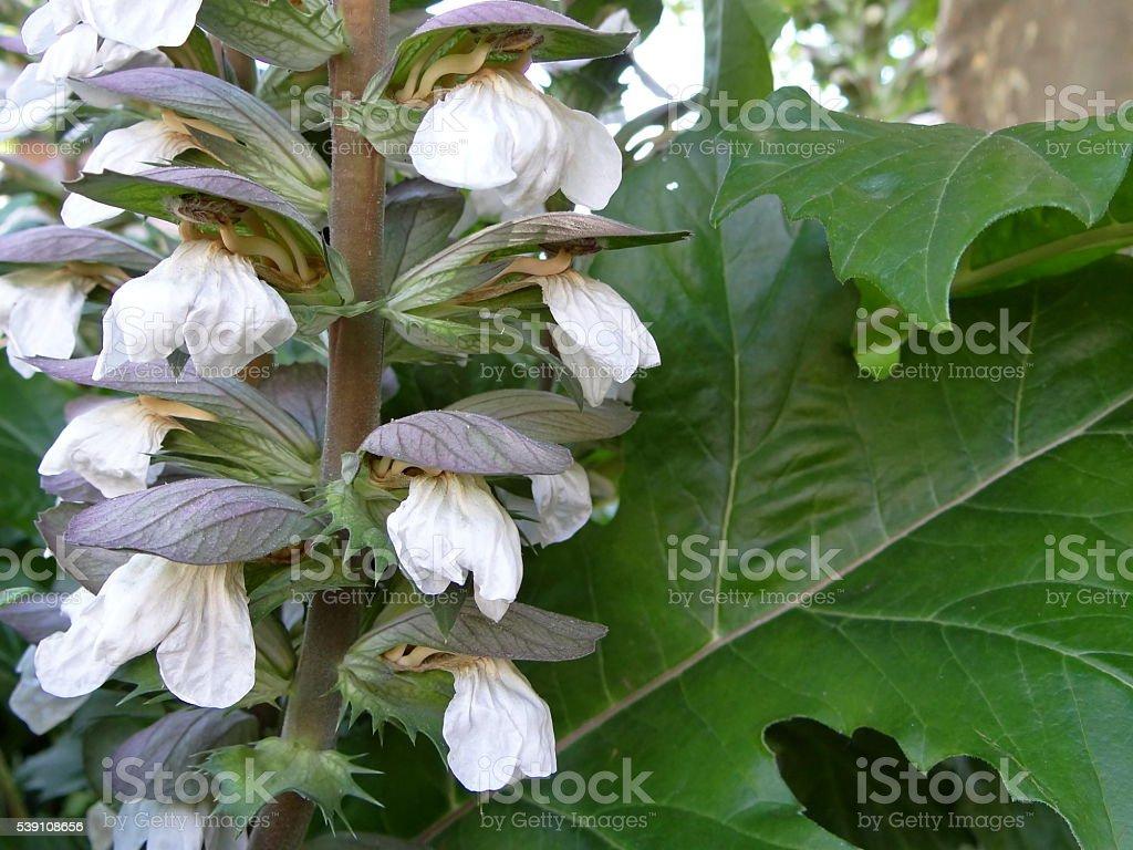 white flower acanthus stock photo