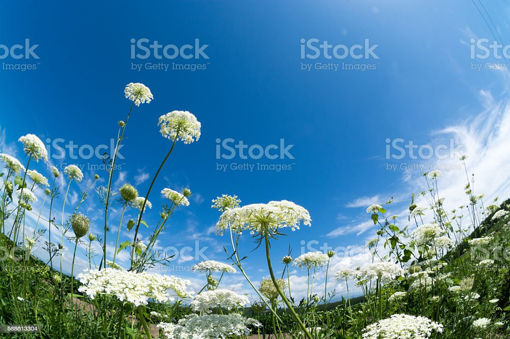 White flower and blue sky stock photo