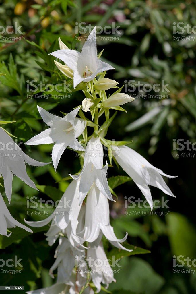 White flower Campanula royalty-free stock photo