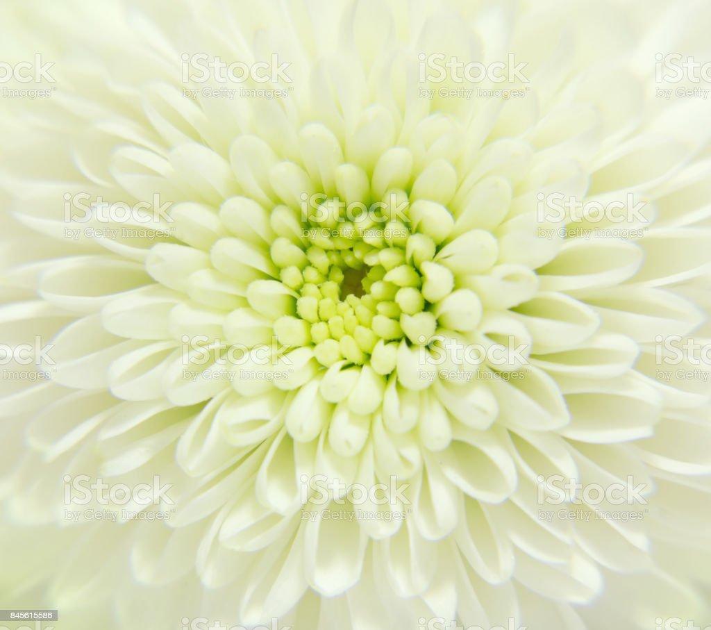 White  flower close-up, nature wallpaper, macro, selective focus stock photo