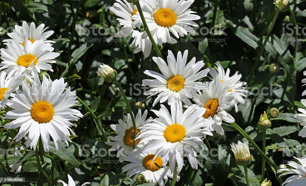 white flower daisies with pure white petals and yellow corolla stock photo