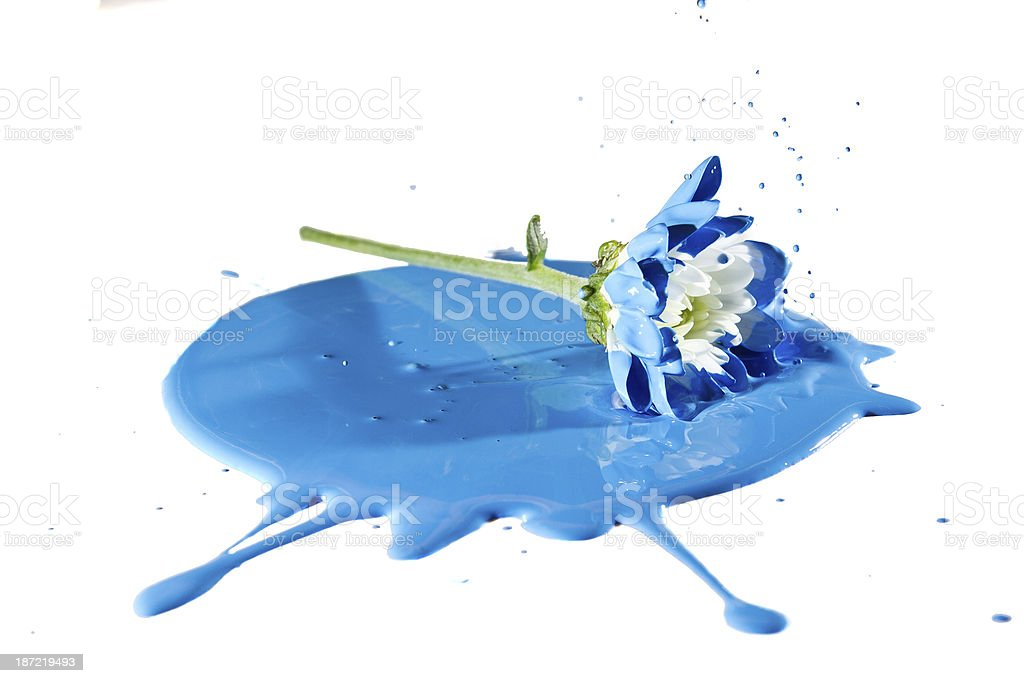 White flower fall in blue paint royalty-free stock photo