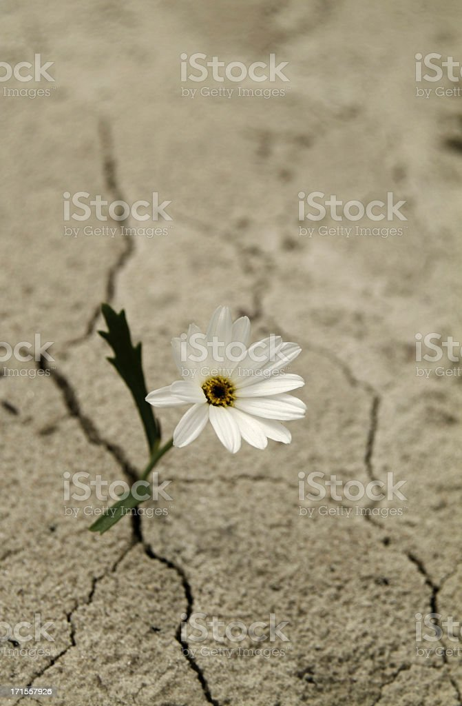 White flower growing between cracks in cement royalty-free stock photo
