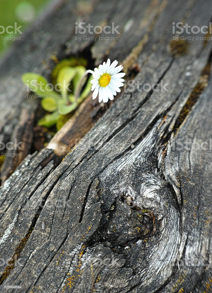 White flower growing on a timber royalty-free stock photo