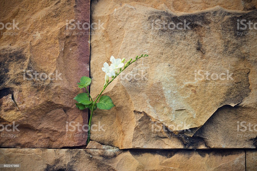 white flower growing on crack stone wall soft focus stock photo