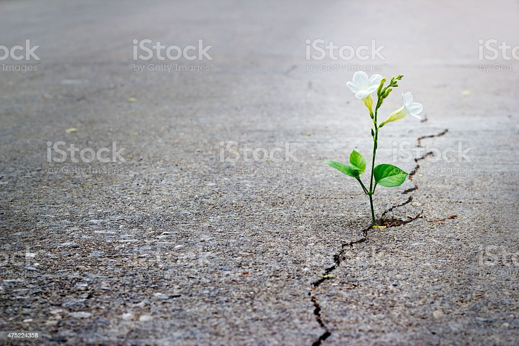 white flower growing on crack street, soft focus, blank text stock photo