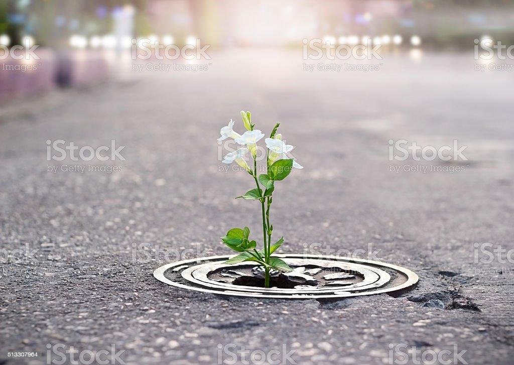 white flower growing on crack street, soft focus stock photo