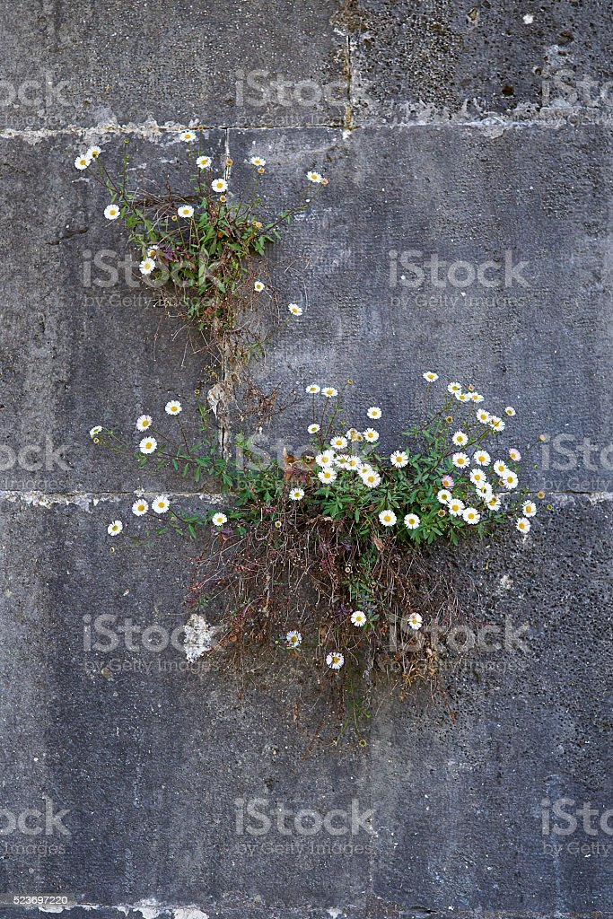 White flower growing on grey wall stock photo