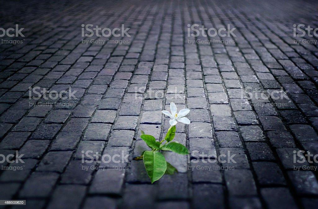 white flower growing on street floor tile brick at night stock photo