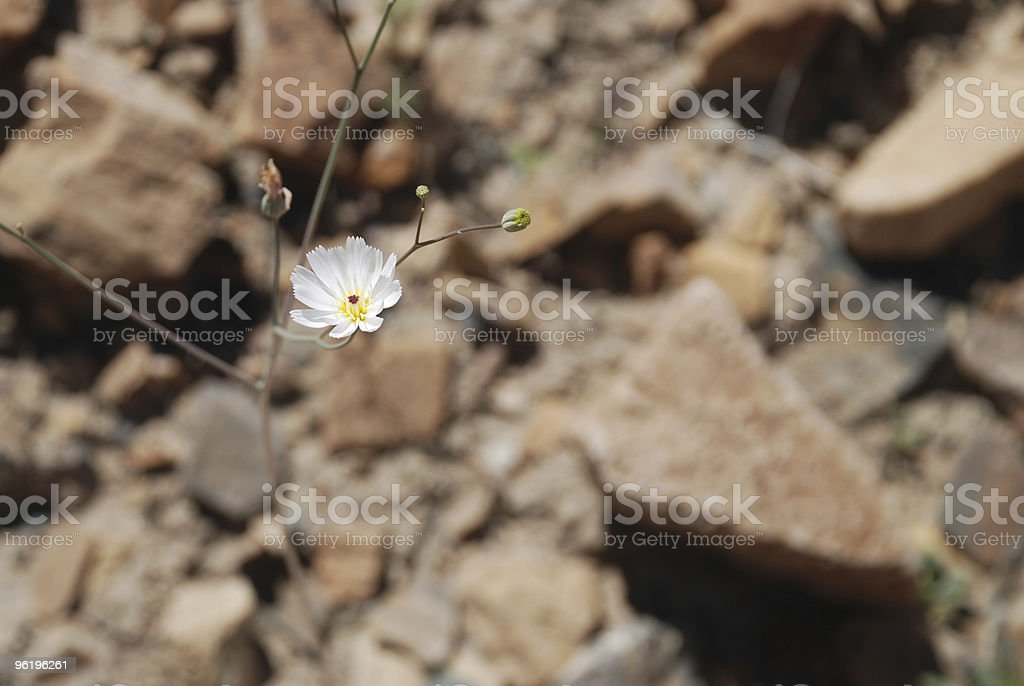 White Flower in Amid Rocks royalty-free stock photo