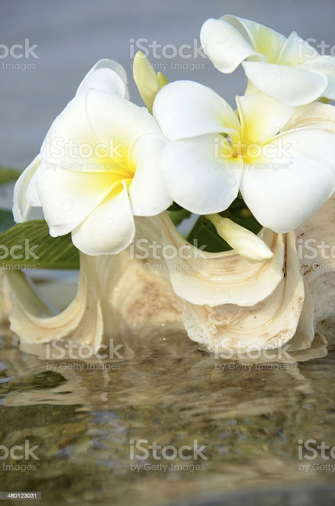 White flower in conch shell royalty-free stock photo