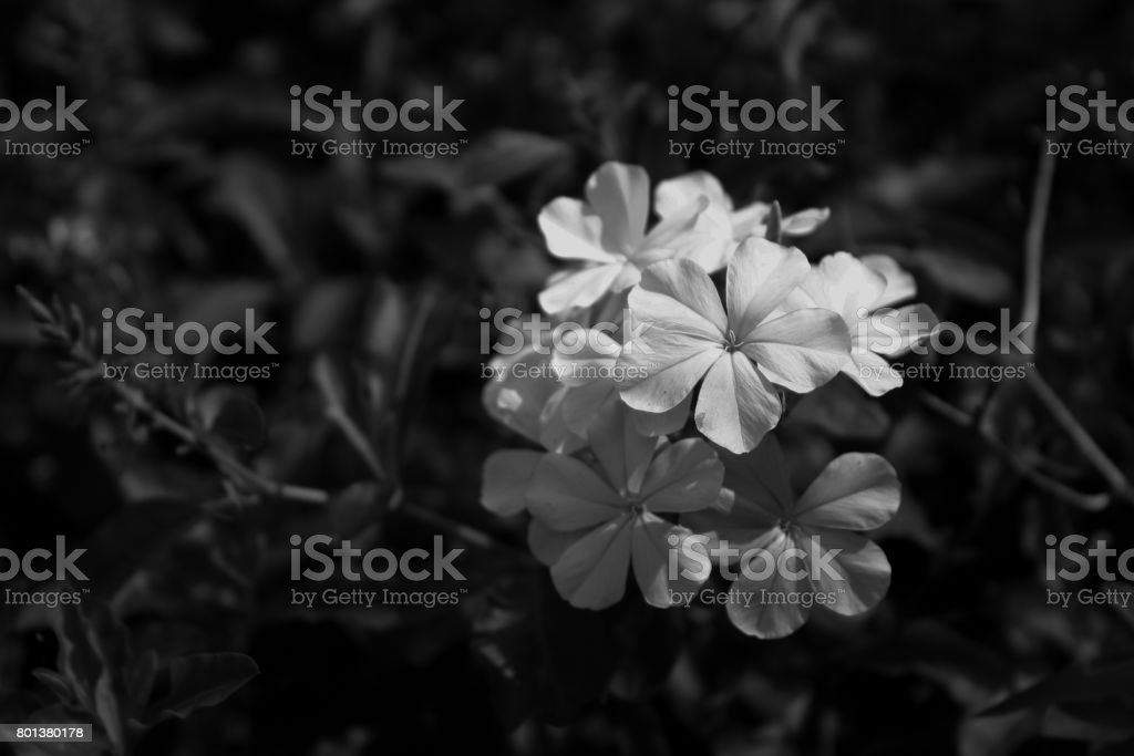 white flower in the garden. close up nature. stock photo
