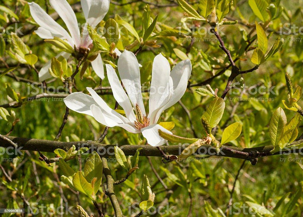 White flower magnolia Kobus stock photo