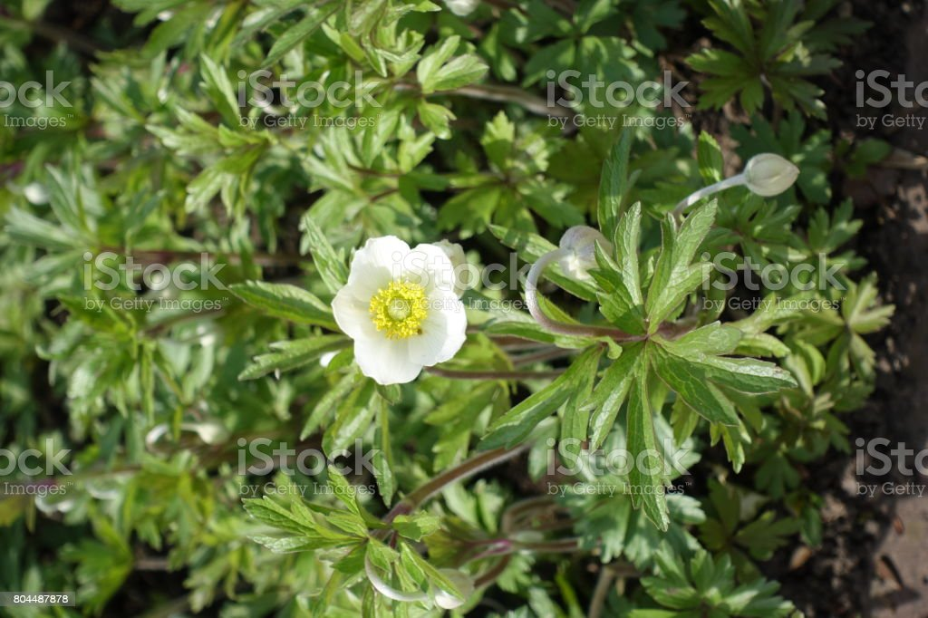 White flower of Anemone sylvestris with yellow stamens stock photo
