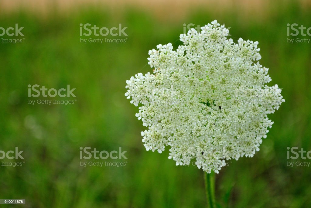 White flower of anise plant, wild carrot, Queen Anne's Lace stock photo