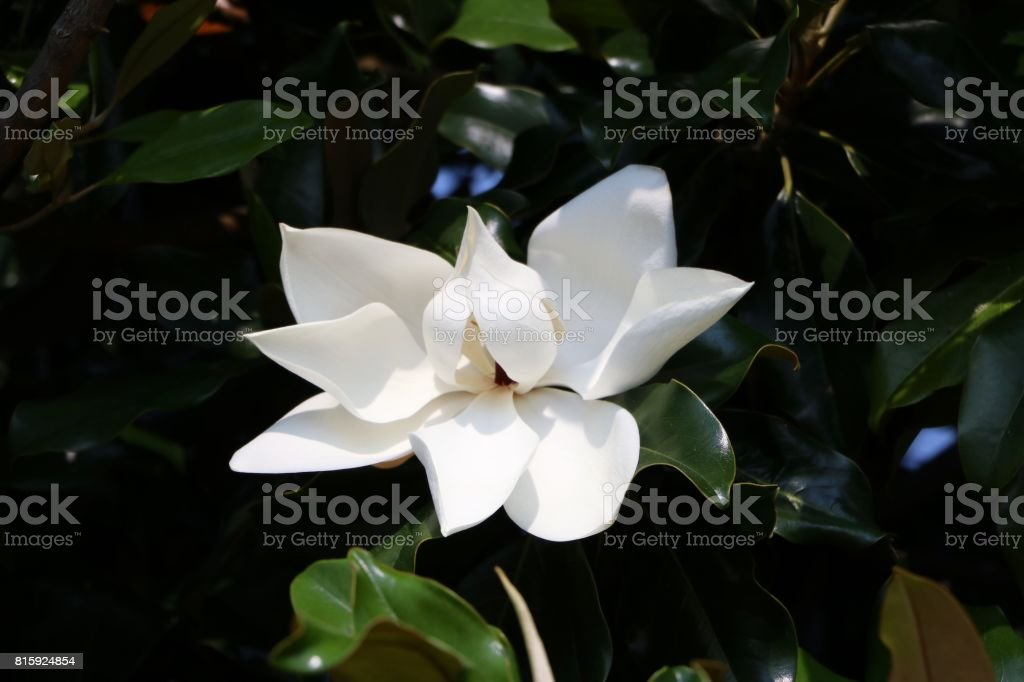 White flower of Magnolia grandiflora, Italy stock photo