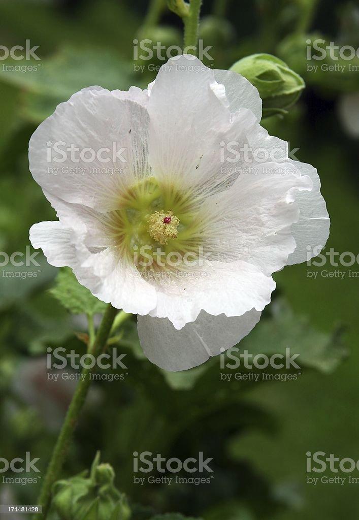 white flower of mallow perennial plant royalty-free stock photo