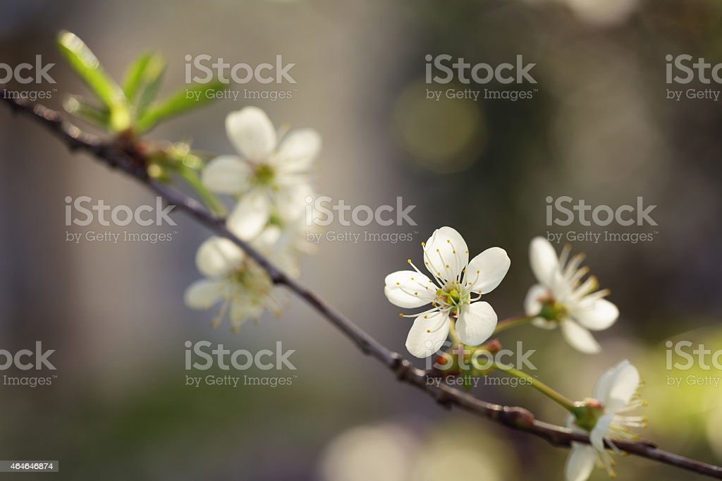 white flower of pear blossoms in spring stock photo