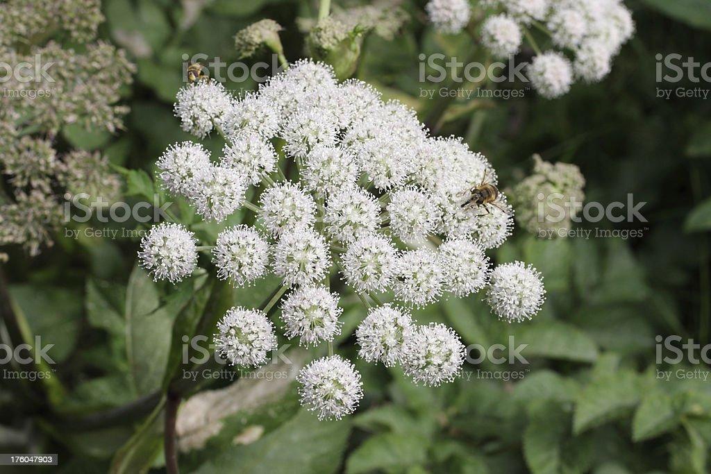 White flower of wild Angelica sylvestris stock photo