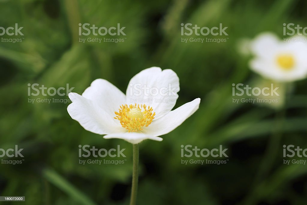 White flower on a green background royalty-free stock photo