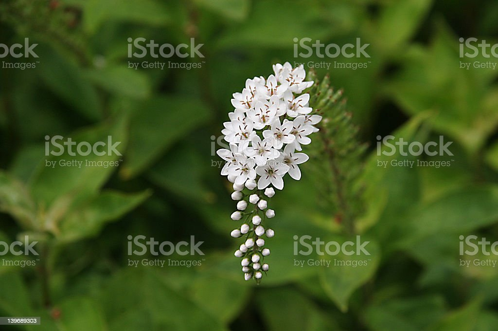 White Flower royalty-free stock photo