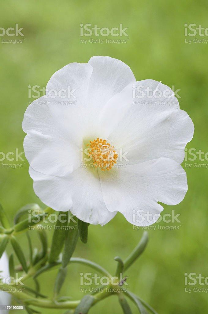 White flower(Portulaca) stock photo