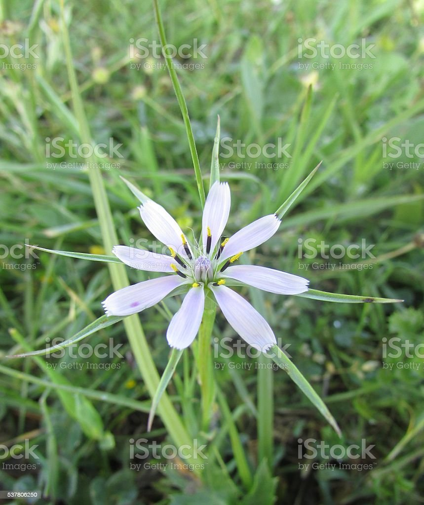 White flower(geropogon hybridus) stock photo