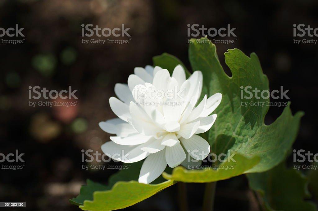White flower. Sanguinaria canadensis Flore multiplex 'Plena',  bloodwort, redroot stock photo
