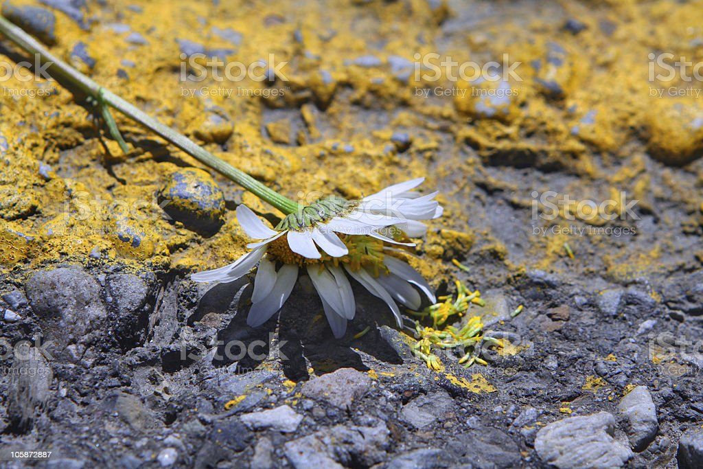 White flower trampled on highway royalty-free stock photo