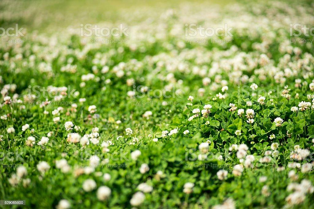 Fleur blanche qui fleurit sur la pelouse photo libre de droits