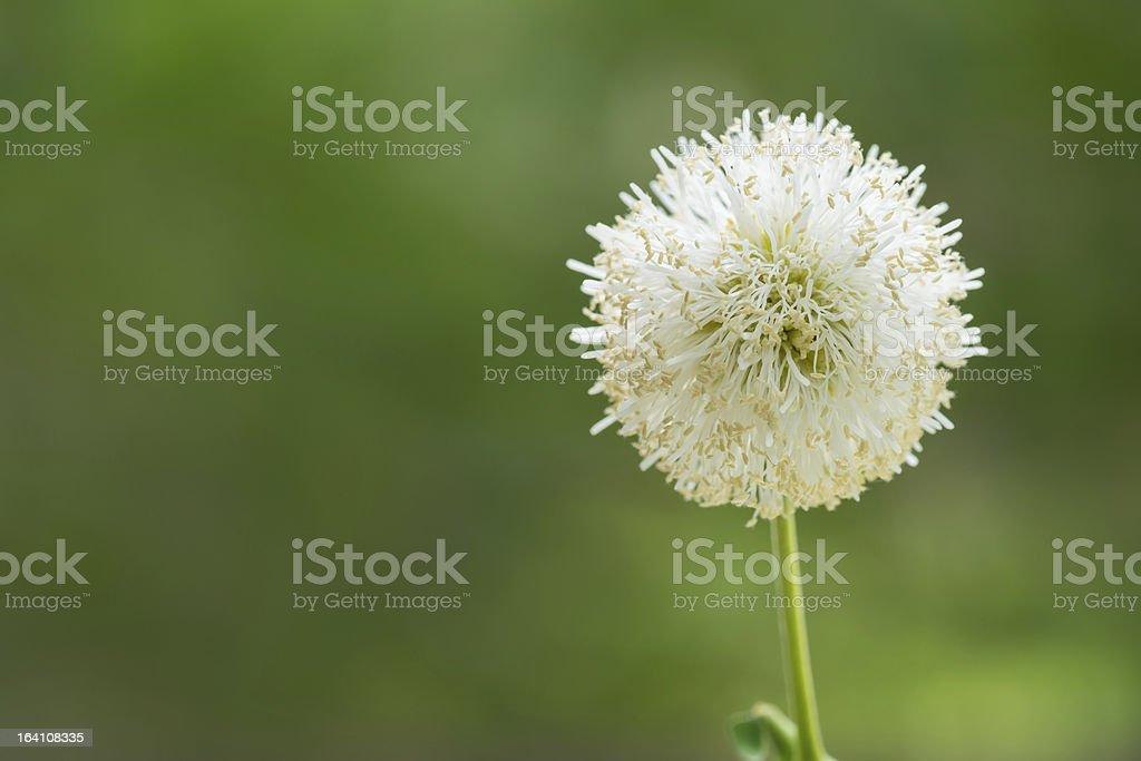 White flower with out of focus green background royalty-free stock photo