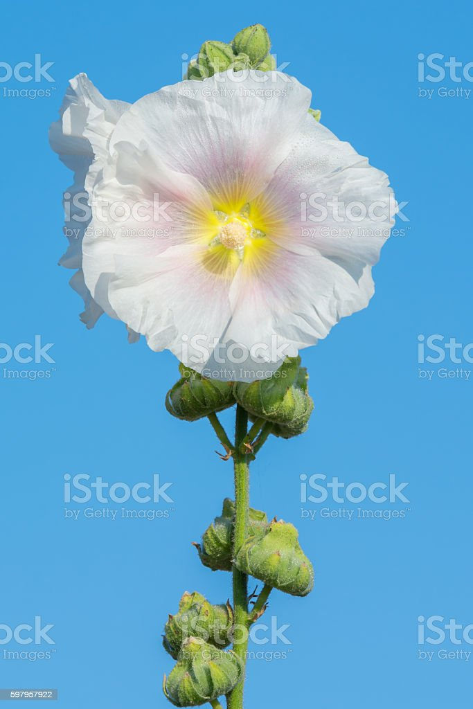 White flower with Pink and Yellow in the middle stock photo