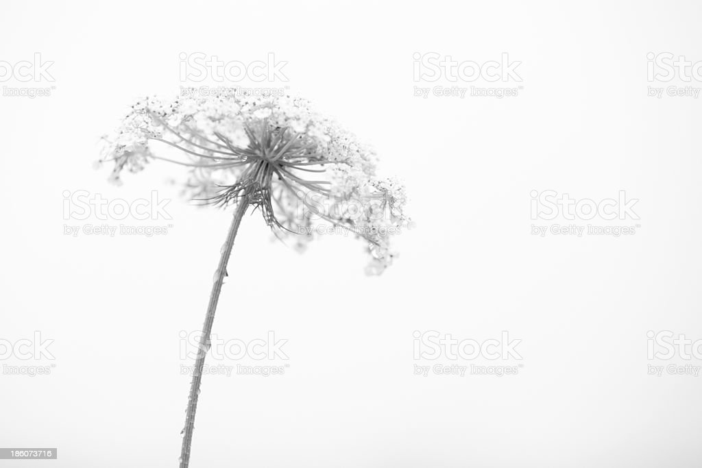 White flower with raindrops. stock photo