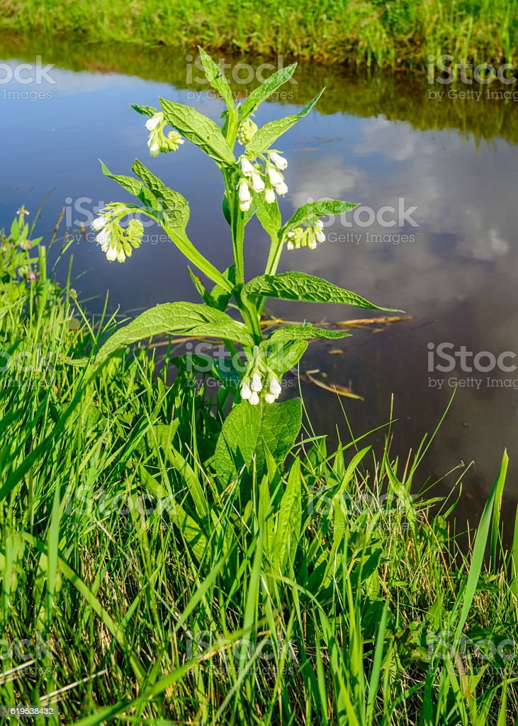 White flowering common comfrey on the edge of a ditch stock photo