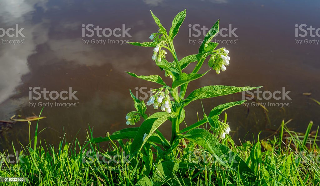 White flowering common comfrey on the edge of the water stock photo