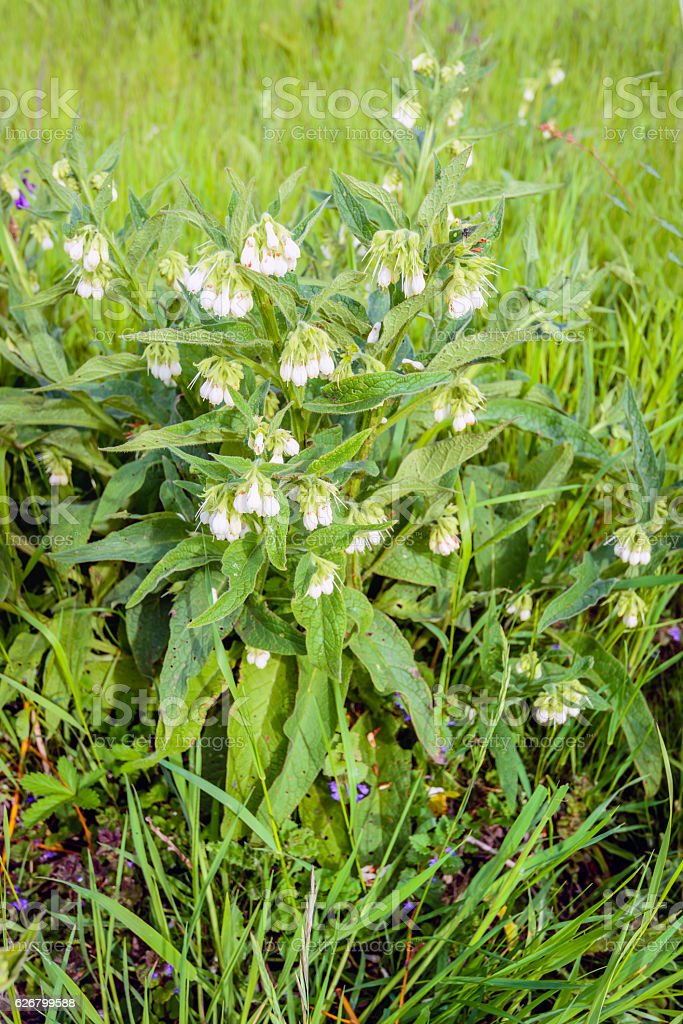 White flowering common comfrey plant from close stock photo