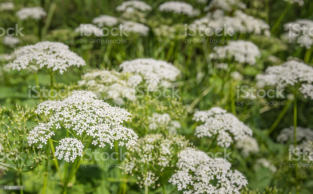 White flowering Cow Parsley from close stock photo