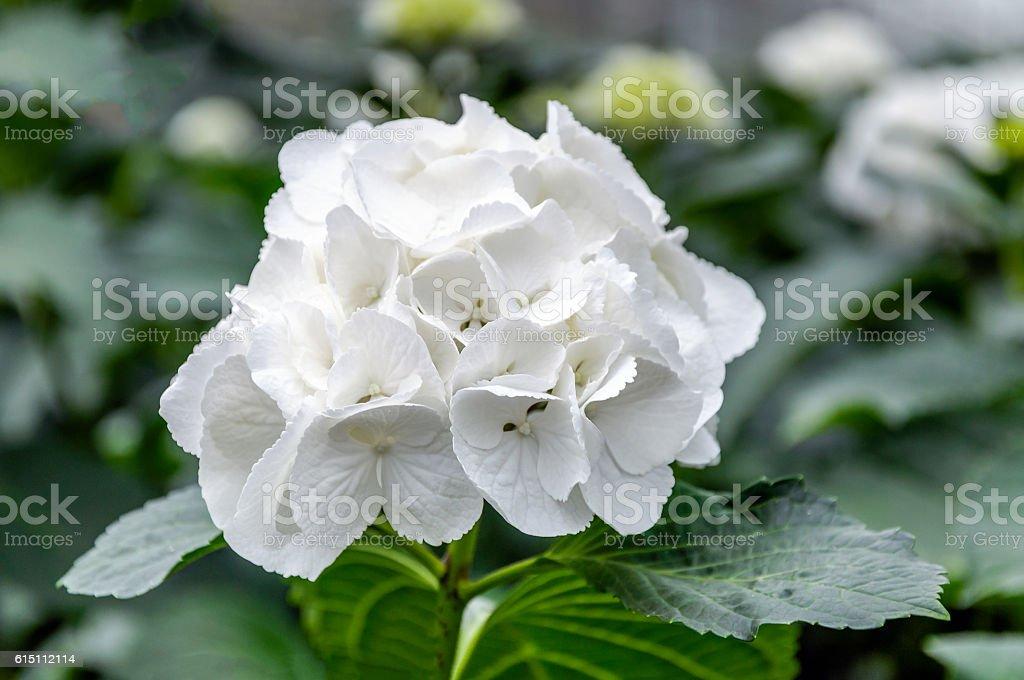 White flowering Hydrangea in a specialized Hydrangea cut flowers stock photo