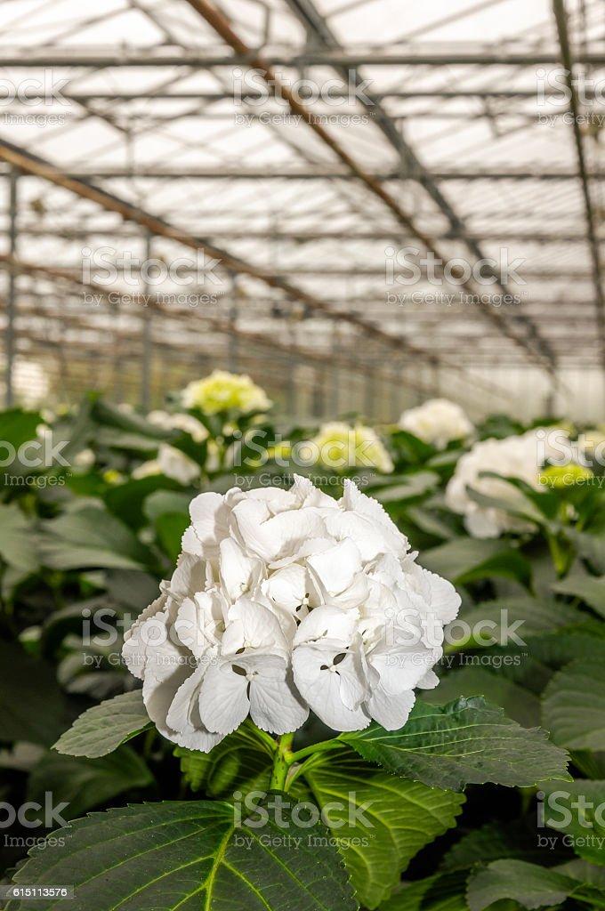 White flowering Hydrangeas in a  Hydrangea cut flowers nursery stock photo