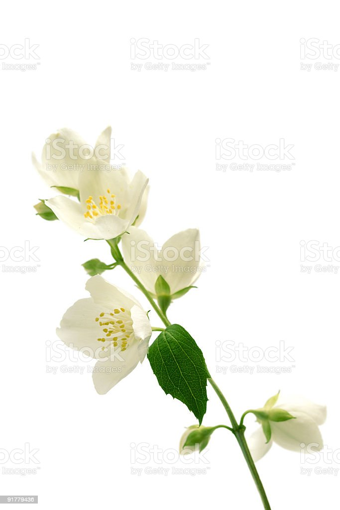 White flowering jasmine buds with green leaves stock photo