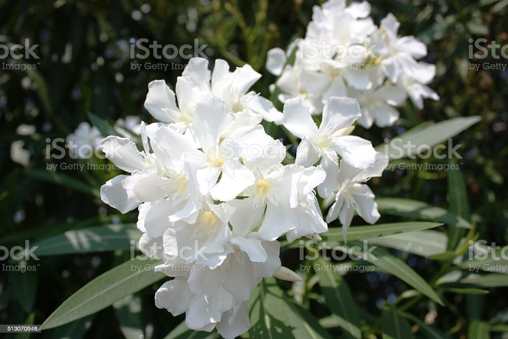 White flowering oleander in Intra Verbania Italy stock photo