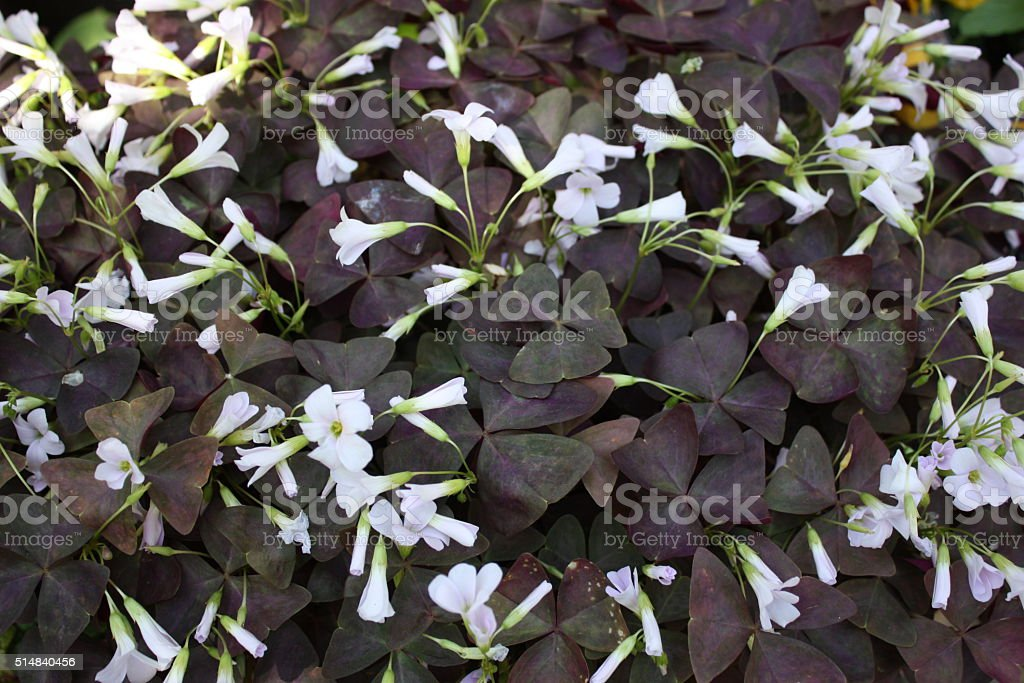 White flowering Oxalis triangularis in the garten in Summer stock photo